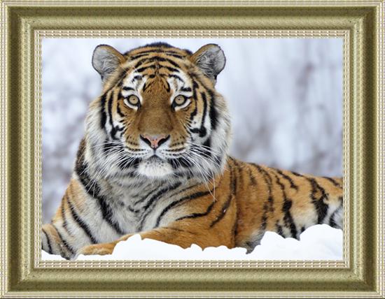 """2395 ภาพ diamond """"เสือจ้าวหิมะ"""""""