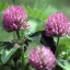 red clover unicity thumbnail 3