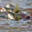 icute salmon placenta sop 250+ thumbnail 10